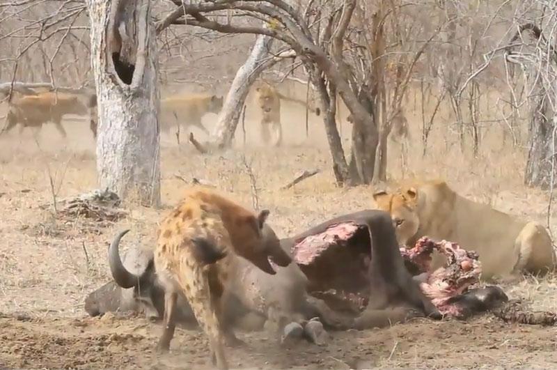 Bầy linh cẩu tấn công sư tử.