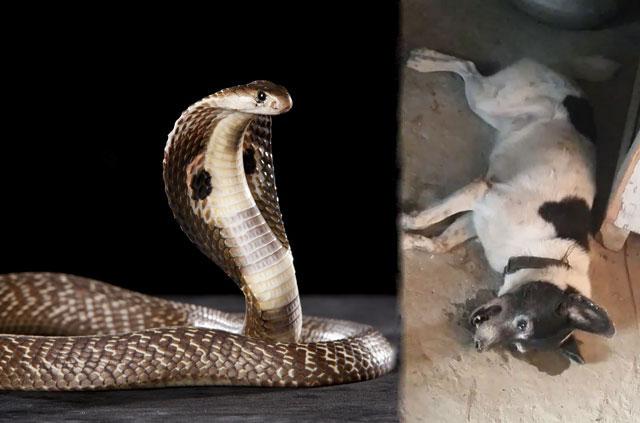 Chú chó chết thảm vì bị rắn hổ mang cắn.