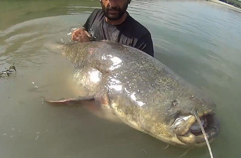 Tóm gọn cá trê dài 2,5m, nặng hơn 120kg. Cần thủ Yuri Grisendi đã rất may mắn khi tóm được một chú cá trê khổng lồ với cân nặng 120,2kg và dài 2,5m tại sông Po, Italia. (CHI TIẾT)