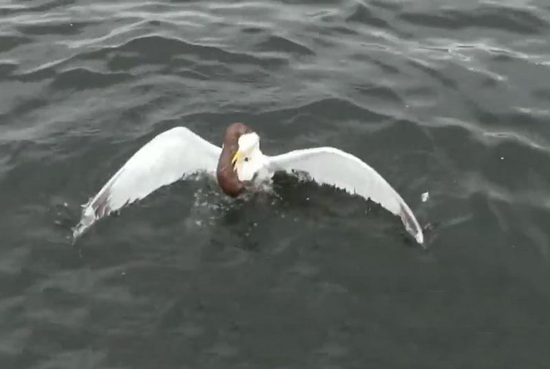 """Màn """"thủy chiến"""" ác liệt giữa chồn sương và mòng biển. Khi đang câu cá ở hồ Stoney thuộc tỉnh Ontario, Canada, cần thủ David Suggitt đã tình cờ ghi lại được một cảnh tượng cực hiếm trong thế giới động vật hoang dã. Đó chính là cảnh chồn sương """"thủy chiến"""" với mòng biển. (CHI TIẾT)"""