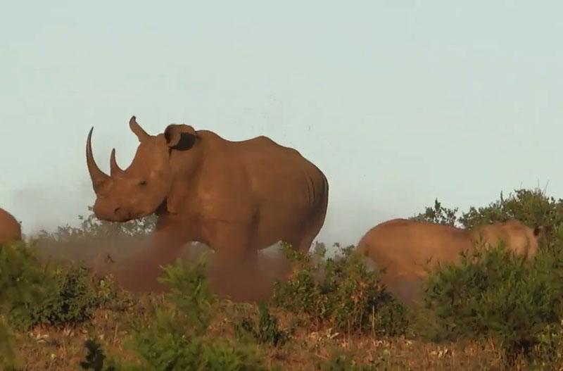 Tê giác mẹ đánh đuổi sư tử.