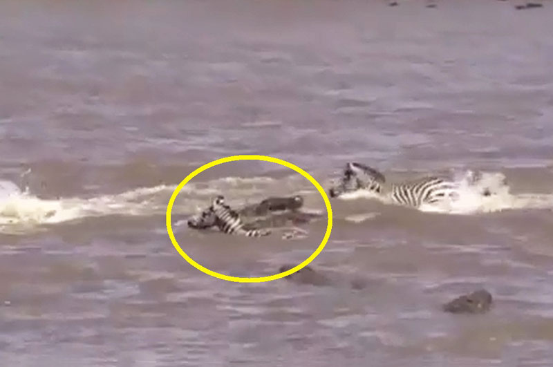 Vượt sông, ngựa vằn chết thảm trước hàm cá sấu. Khi cùng bầy đàn vượt sông, chú ngựa vằn ở đoạn video sau đây đã bỏ mạng vì bị đàn cá sấu tấn công. (CHI TIẾT)