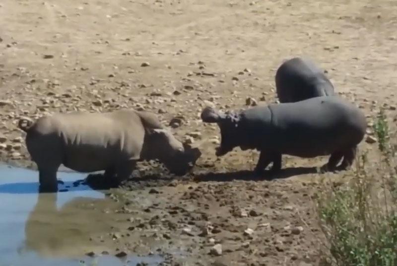 """Màn ác chiến kinh hoàng giữa hà mã và tê giác. Vì cho rằng con tê giác dám xâm nhập lãnh thổ của mình, nên chú hà mã đã """"nổi điên"""" trước khi lao lên tấn công rất dũng mãnh. (CHI TIẾT)"""