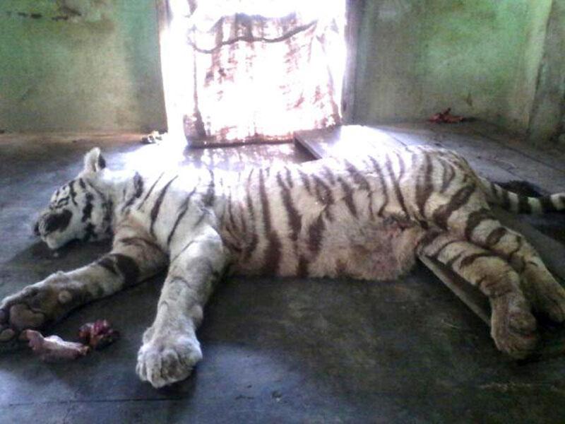 Rắn hổ mang chúa cắn chết hổ trắng quý hiếm. Con rắn hổ mang chúa khổng lồ đã khiến sở thú Indore (Ấn Độ) bị thiệt hại nặng nề khi cắn chết một chú hổ trắng cực kỳ quý hiếm. (CHI TIẾT)