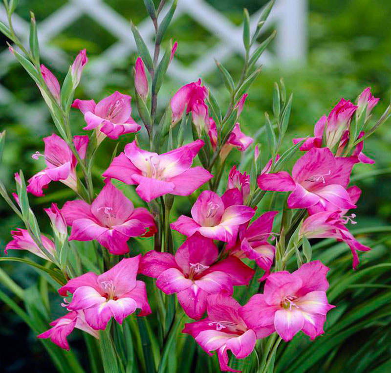 Hoa lay ơn tượng trưng cho sự tôn vinh và sự hồi tưởng.