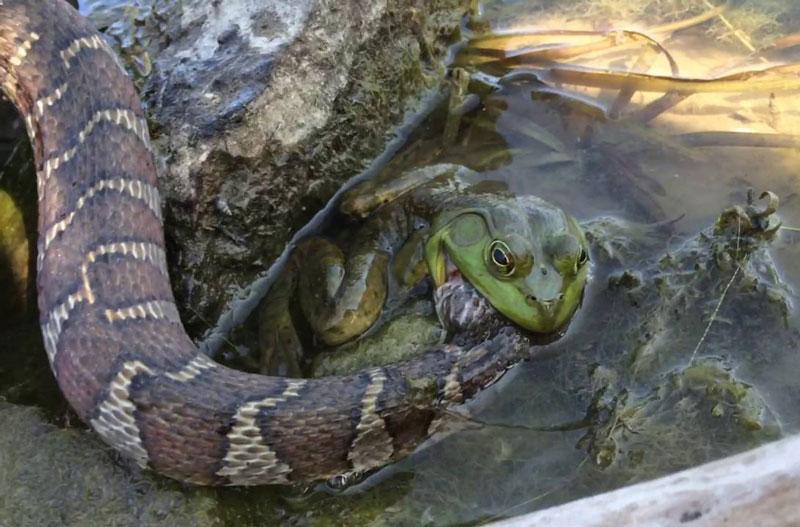 """Ếch quyết tâm """"ngọc đá cùng tan"""" với rắn độc. Dù bị con rắn độc tấn công, nhưng chú ếch vẫn kiên cường chống trả và khiến đối thủ phải trả giá cực đắt. (CHI TIẾT)"""
