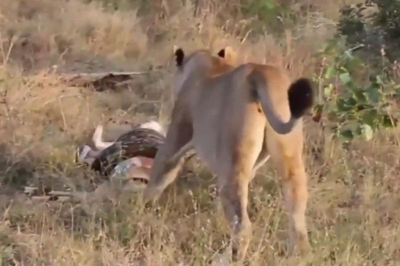 Sư tử cái giành mồi với trăn khổng lồ. Phát hiện thấy con trăn lớn đang siết chặt linh dương, sư tử đã bén mảng tới giành mồi nhưng bất thành. (CHI TIẾT)