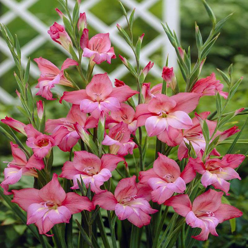 Bông lay ơn được xem là loài hoa của người đấu sĩ và từ lâu đã được xem là gắn liền với thanh gươm.