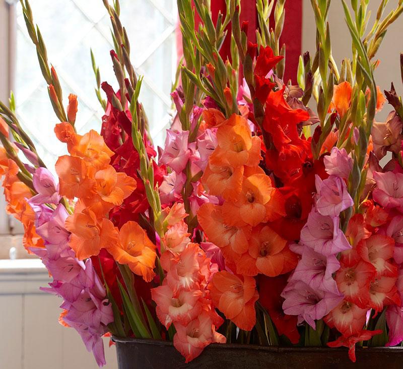 Những bông hoa oai vệ này được dùng trong những lãng hoa trưng bày tại những dịp đặc biệt và là loài hoa được yêu thích nhất trong vườn quốc gia. Chúng được đánh giá là những bông hoa cổ điển, do thường được những người phụ nữ ở Mỹ trồng ở phía sau khu vườn hoa của họ để tạo nên một nền hoa đầy màu sắc.