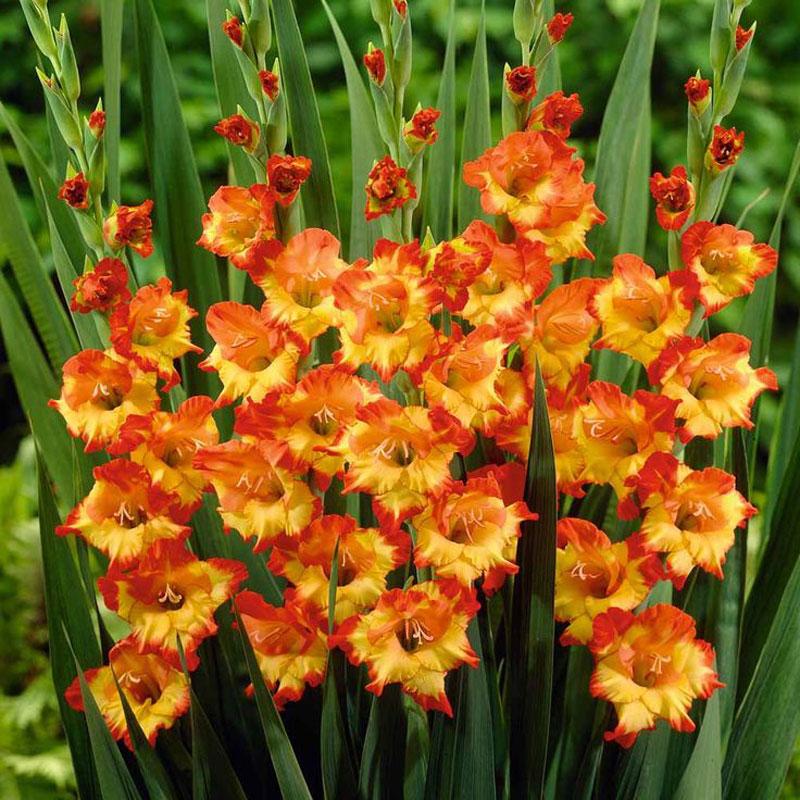 Hoa lay ơn thường được trồng dọc theo hàng rào bởi vì thân hoa dài cần được hổ trợ để có thể đứng thẳng.