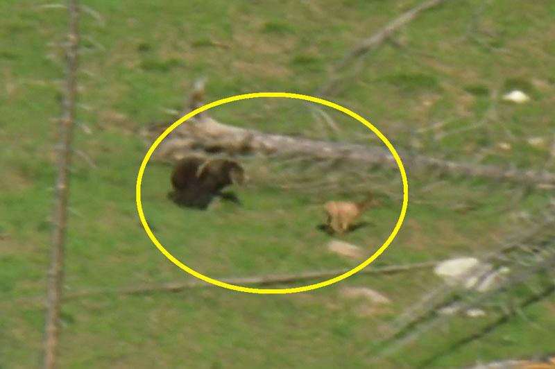 Gấu xám Bắc Mỹ trổ tài săn nai sừng xám. Với những lỗ lực truy đuổi không biết mệt mỏi cộng thêm chút may mắn, gấu xám Bắc Mỹ đã bắt được nai sừng xám để chiêu đãi 2 đứa con của mình. (CHI TIẾT)