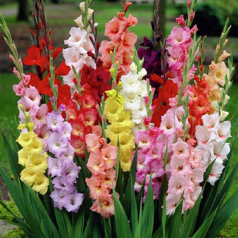 Những cây hoa lay ơn nhiều màu sắc. Ảnh minh họa.