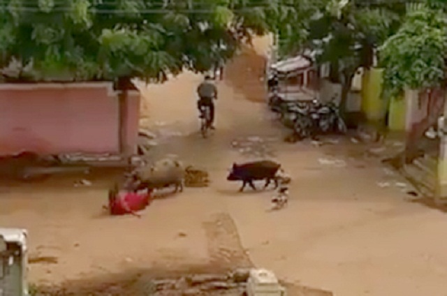 Theo thông tin đăng tải, bà Bibi Jan, 60 tuổi, một người giúp việc đang trên đường từ nhà chủ về nhà thì bất ngờ bị hai con lợn nổi điên tấn công. Chúng không chỉ hất ngã bà Bibi Jan xuống đất mà còn cắn vào đầu, vào mặt và cánh tay của bà.
