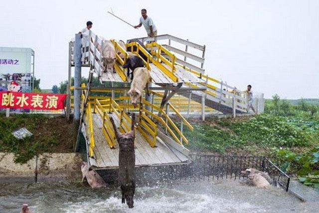 Ông Huang Demin đang huấn luyện cho các chú lợn nhảy cầu. (Nguồn: chinanews.com)