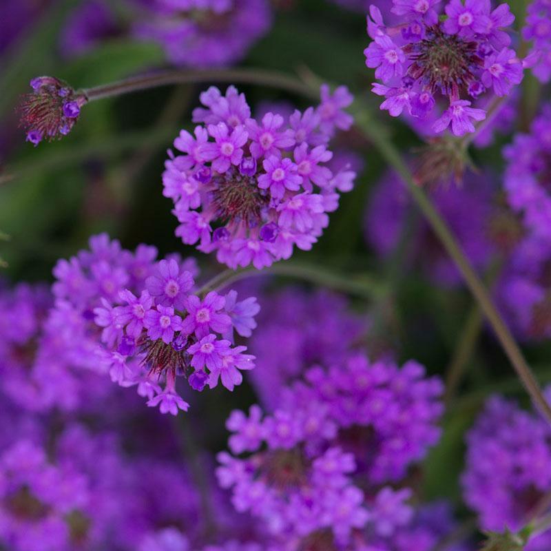 Chi này có khoảng 250 loài cây một năm và lâu năm có thân thảo thuộc về họ cỏ Roi ngựa (Verbenaceae).