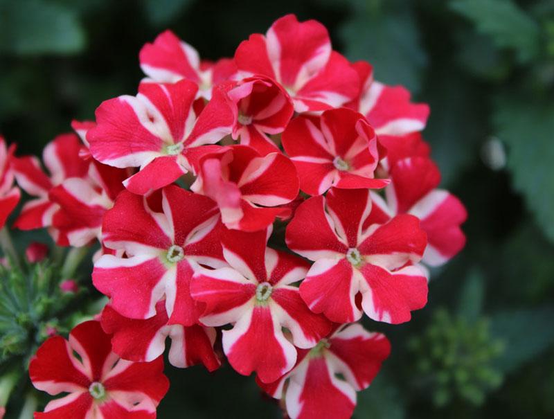 Hoa nhỏ, có màu trắng, hồng, tía hay lam, với 5 cánh hoa, và mọc thành cụm dày dặc.