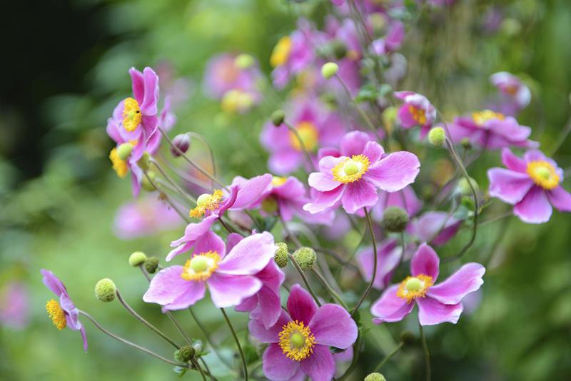 Cánh hoa thường có màu trắng, hồng phấn, hồng tím… nhị hoa màu vàng.