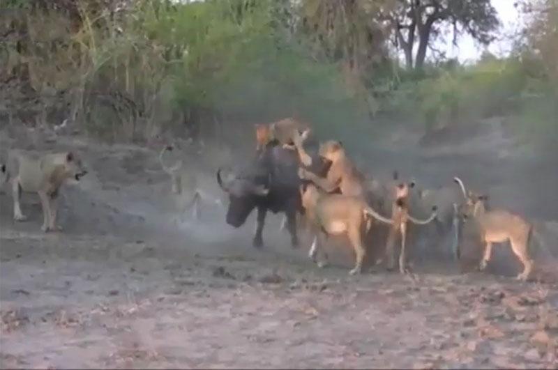Bầy sư tử vây giết trâu rừng.