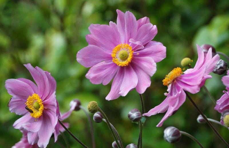 Hoa xuân Nhật có nguồn gốc từ Trung Quốc.