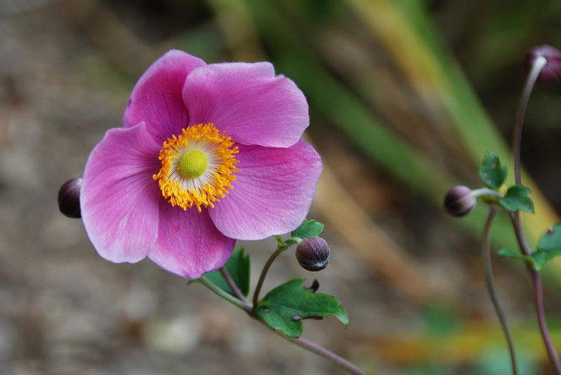 Loài này lần đầu tiên được đặt tên và mô tả trong Flora Japonica (1784), bởi Carl Thunberg.