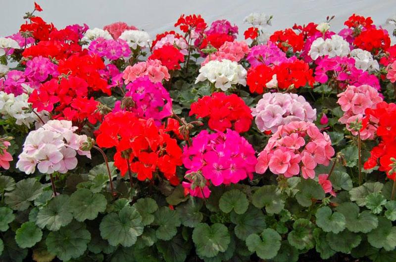 Sặc sỡ với sắc hoa phong lữ tại Hồ Văn