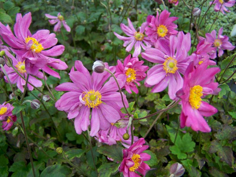 Hoa có bán kính từ 40 - 60cm.