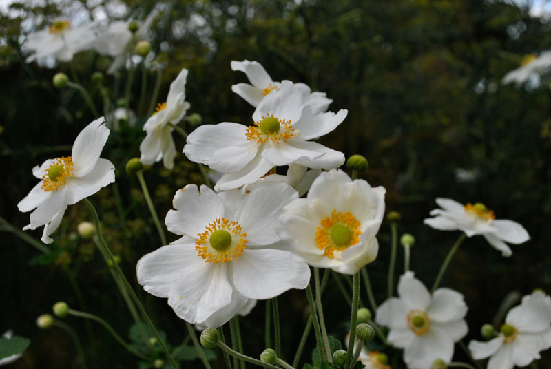 Hoa xuân Nhật có từ 5 - 6 cánh, và có thể lên tới 20 cánh nếu là hoa kép.