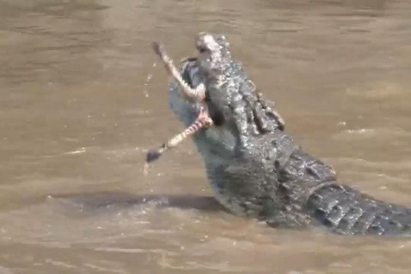 """Cảnh cá sấu xâu xé ngựa vằn con. Bầy cá sấu đã khiến những người chứng kiến phải """"dựng tóc gáy"""" khi thực hiện màn xé xác chú ngựa vằn chưa trưởng thành cực kỳ dã man. (CHI TIẾT)"""