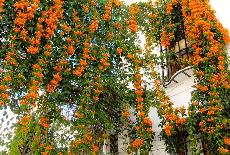 Hoa chùm ớt rất được chuộng trồng cảnh. Ảnh minh họa.