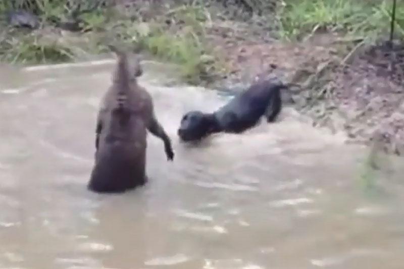 Kangaroo chống trả sự tấn công của chó săn.
