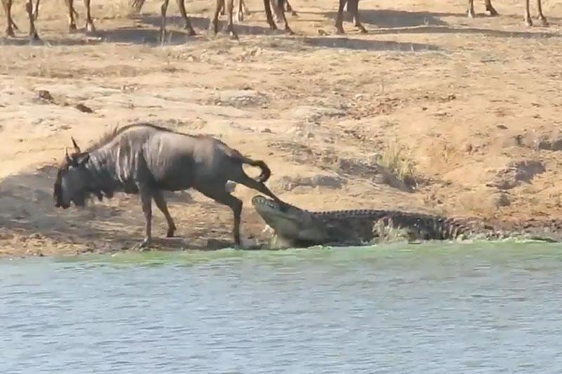 Cá sấu bắt linh dương đầu bò.