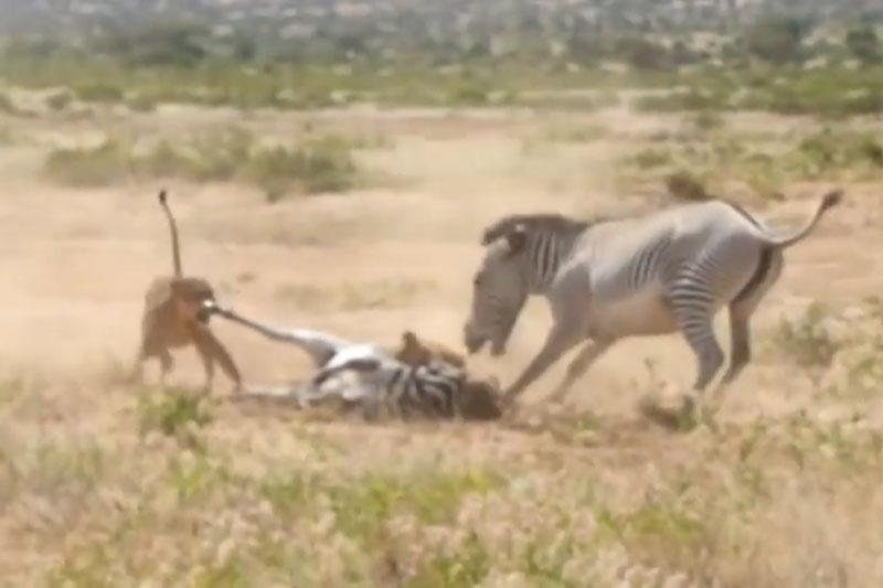 Con bị bắt, ngựa vằn mẹ liều chết với sư tử. Khi đứa con của mình bị 2 con sư tử tấn công, ngựa vằn mẹ đã dũng cảm chiến đấu với những kẻ săn mồi nhưng điều đó cũng không thể giúp nó cứu sống con. (CHI TIẾT)