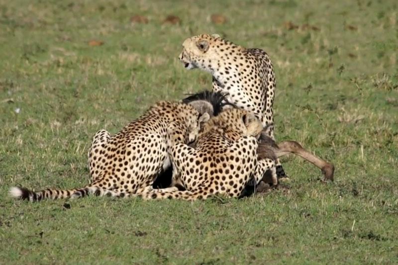 Linh dương đầu bò tả xung hữu đột giữa 3 con báo săn. Mặc dù đã nỗ lực chiến đấu với 3 con báo săn nhưng chú linh dương đầu bò vẫn bị hạ sát. (CHI TIẾT)
