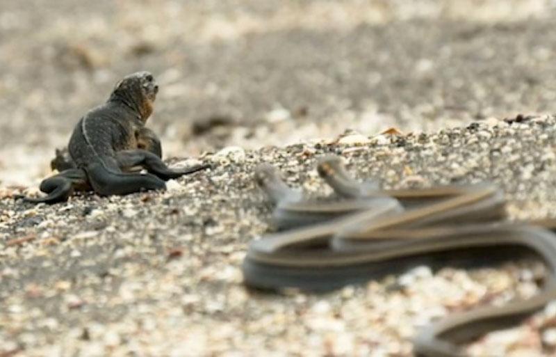 Bị hàng chục rắn độc truy sát, cự đà vẫn thoát chết ngoạn mục. Nhờ vào tốc độ chạy cực nhanh, chú cự đà đã tạo ra màn thoát chết ngoạn mục sau khi bị hàng chục con rắn độc truy sát. (CHI TIẾT)