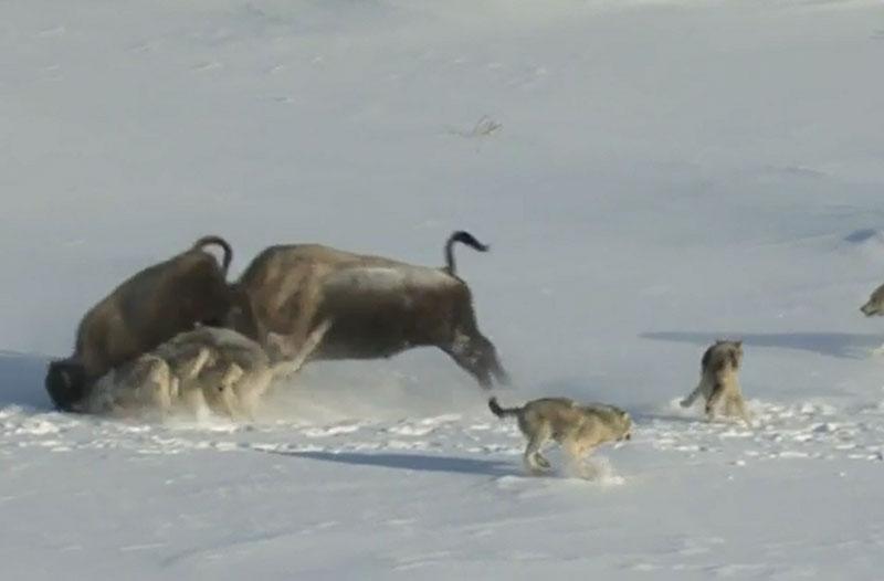 Bò xạ hương húc con và giúp bầy sói có bữa ăn dễ dàng.