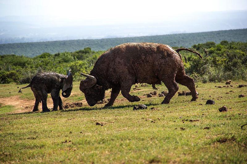 Theo tờ The Sun, cảnh tượng voi con bị trâu rừng húc văng xa hơn 3m kể trên do hướng dẫn viên tham quan động vật hoang dã Conrad Cramer tình cờ ghi lại được tại vườn quốc gia Addo Elephant ở Nam Phi.