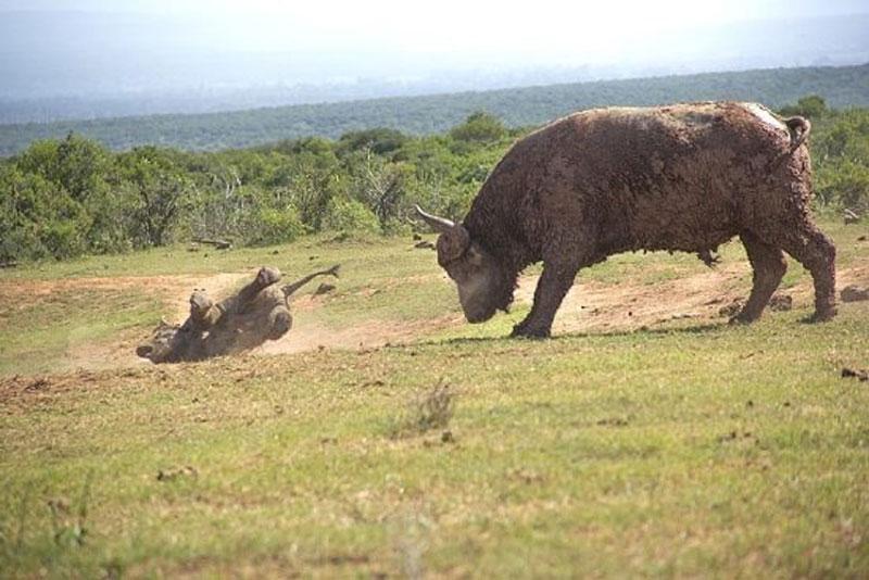 """Thế nhưng, chính điều này lại khiến con trâu rừng """"nổi điên"""" trước khi lao lên húc chú voi con văng xa hơn 3m."""