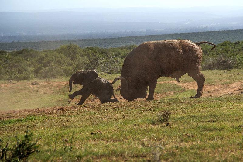 """Chưa dừng lại ở đó, khi chú voi con vừa """"bò dậy"""", con trâu lại tiếp tục tấn công."""