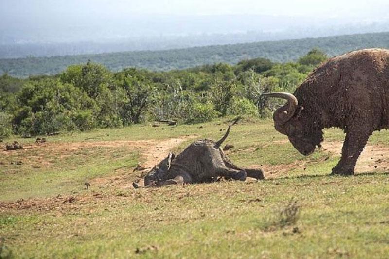 Sau khi phải nhận hai cú húc cực mạnh từ trâu rừng, chú voi con đã bị chấn thương khá nặng. Rất may là chấn thương này chưa đủ để gây ảnh hưởng tới tính mạng của nó.