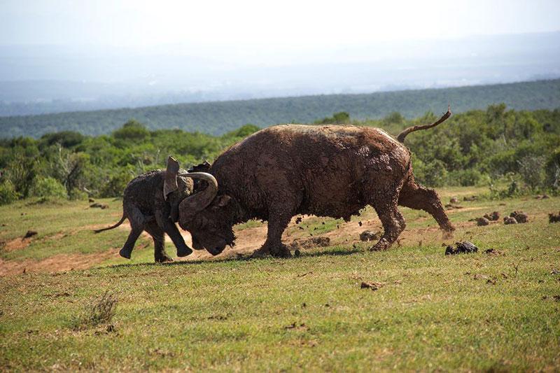 Trước đó, chú voi con đã cố gắng học theo hành động hăm dọa kẻ địch của những con voi trưởng thành khi lao lên đối đầu với con trâu rừng nặng gần 1 tấn. Thậm chí, nó còn mở rộng vành tai và giơ vòi lên nhằm làm đối thủ hoảng sợ.