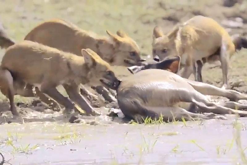 Nai tử chiến kinh hoàng với chó hoang. Dù chú nai đã lao xuống dòng sông để trốn chạy, nhưng điều đó vẫn không để giúp nó thoát chết trước sự tấn công của bầy chó hoang. (CHI TIẾT)
