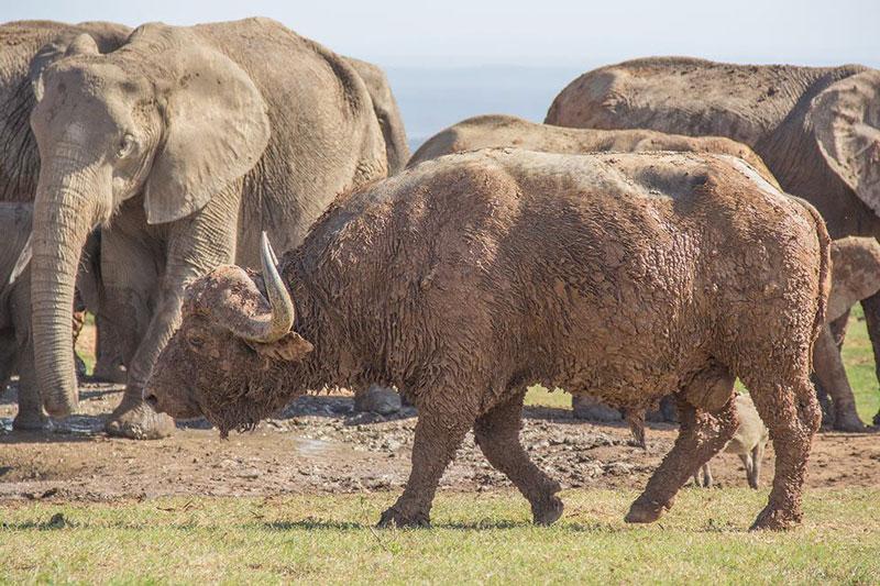 """Đáng chú ý, trong lúc chú trâu rừng húc voi con, những con voi trưởng thành lại """"làm ngơ"""" như không thấy gì. Theo hướng dẫn viên Conrad Cramer, những voi trưởng thành có thể muốn chú voi con phải nhận """"bài học đắt giá"""" này để giúp nó biết cách lựa chọn kẻ địch trong tương lai."""