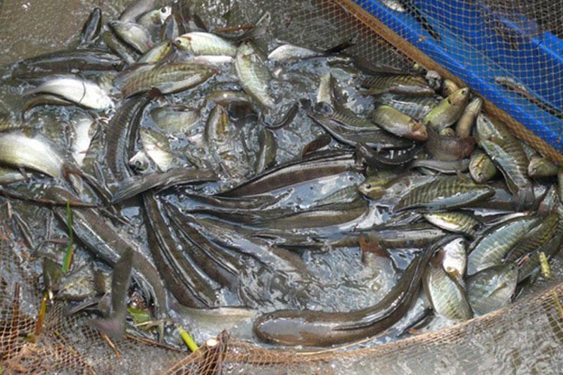 Cận cảnh màn tát đìa bắt cá đồng của người Cà Mau. Sau khi thu hoạch nông sản, người nông dân cà Mau lại bắt đầu vào mùa thu hoạch cá đồng và cách mà họ thường dùng để bắt cá là tát đìa bằng gàu sòng – một nét văn hóa đặc sắc của người dân nơi đây. (CHI TIẾT)