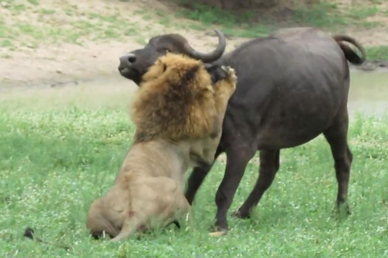 """5 pha săn trâu rừng tuyệt đỉnh của sư tử. Trong thiên nhiên hoang dã, sư tử nổi tiếng là một trong những loài độn vật săn mồi nguy hiểm bậc nhất. Đoạn video dưới đây là minh chứng rõ nét cho sự dũng mãnh của """"lãnh chúa vùng đồng cỏ"""". (CHI TIẾT)"""