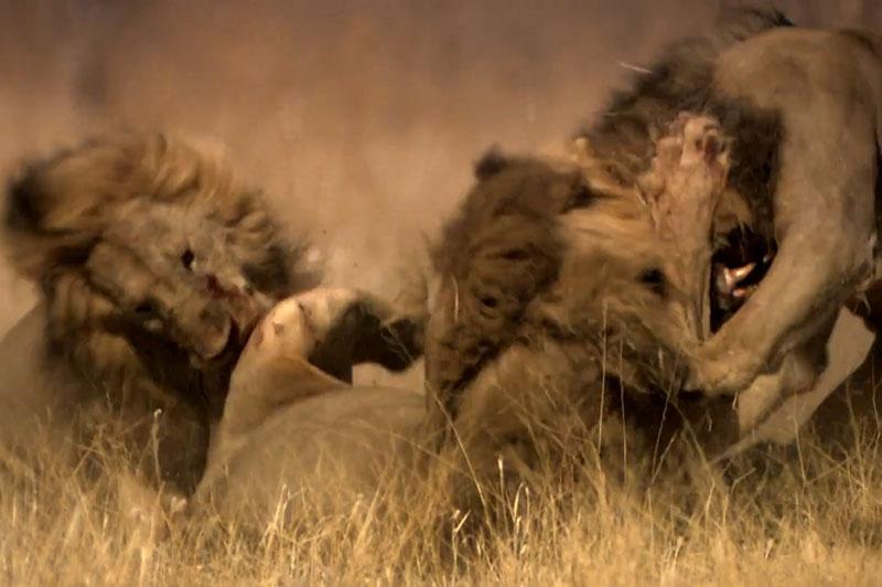 """Đại chiến truất ngôi vương kinh hoàng của loài sư tử. Dù con sư tử đầu đàn có sức mạnh hơn bất cứ đối thủ nào, nhưng với việc phải """"1 chọi 3"""" nên nó đành chấp nhận thua cuộc đầy đau đớn. (CHI TIẾT)"""