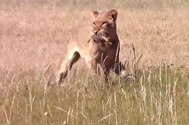 """Sư tử tàn sát bầy đà điểu con. Những con sư tử đã khiến rất nhiều người xem phải """"lạnh người"""" trước sự tàn khốc của thiên nhiên hoang dã bằng màn tàn sát bầy đà điểu con cực kỳ dã man. (CHI TIẾT)"""