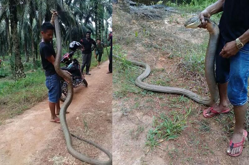 """Tận mục màn bắt sống rắn hổ mang cực lớn. Chỉ cần dùng 1 cây gậy, nam thanh niên đã bắt được rắn hổ mang rất lớn sau ít phút """"vật lộn"""" với loài động vật bò sát này. (CHI TIẾT)"""