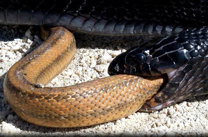 Rắn Indigo nuốt sống rắn chuột trong chớp mắt. Với thân hình to lớn hơn rất nhiều, con rắn Indigo đã dễ dàng tóm gọn và nuốt sống rắn chuột một cách dễ dàng. (CHI TIẾT)