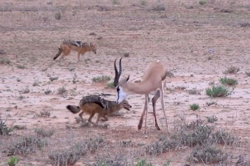 Linh dương Impala cố gắng chống trả cho rừng.