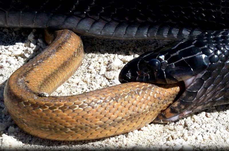 Rắn Indigo nuốt rắn chuột.